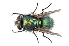 Blow fly species Lucilia caesar. In high definition with extreme focus and DOF (depth of field) isolated on white background with clipping path Stock Photos