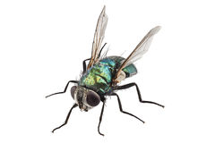 Blow fly species Lucilia caesar Royalty Free Stock Image