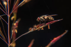 Blow fly. On stem of plant Stock Images