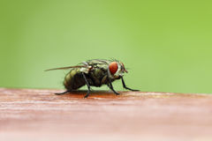 Blow fly on wooden board with blur green background Royalty Free Stock Image