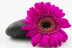Blow of Single Magenta Gerbera on the stone Stock Images