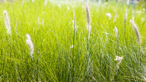 Blow white flower grass Stock Photography