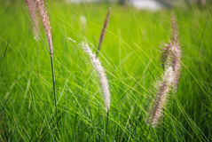 Blow white flower grass Stock Images