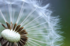 Blow Wind, Blow!. A Dandelion ready to let go of its seeds Stock Images