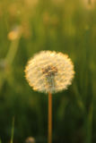 Blowball à l'ensemble du soleil Photographie stock