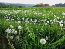 Blowball łąki krajobraz Obraz Royalty Free