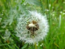 Blowball в траве стоковое фото