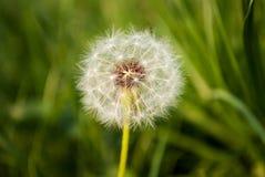 Blowball в траве Стоковая Фотография