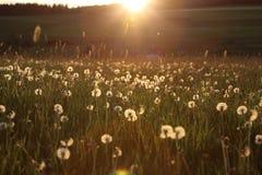 Blowball на комплекте солнца Стоковая Фотография