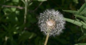 Blowball цветка одуванчика Дикий макрос крупного плана предпосылки природы видеоматериал