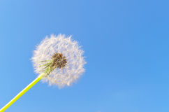 Blowball. On clean turn blue sky as background royalty free stock images