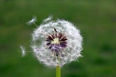 Blowball Imágenes de archivo libres de regalías