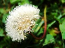 Blowball Fotografia de Stock Royalty Free