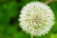 Blowball. With green, vague background stock image