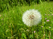 Blowball Image stock