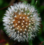 Blowball. Beautiful blowball on meadow in october stock photo
