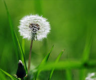 Blowball. Beautiful blowball in meadow, spring flower royalty free stock images