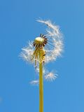 Blowball against blue sky Stock Photo
