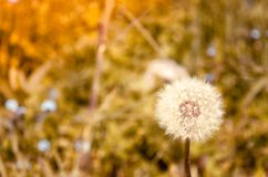 Blowball in Alps royalty free stock photography