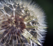 Blowball. Beautiful blowball close-up in the forest Royalty Free Stock Photography