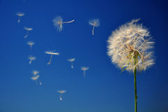 Blowball on blue sky Stock Photo