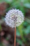 Blowball Stock Images
