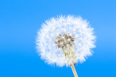 Blowball Royalty Free Stock Images