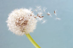 Blowball in close up Stock Photography