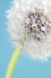 Blowball in close up Royalty Free Stock Photos