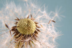 Blowball in close up Royalty Free Stock Image