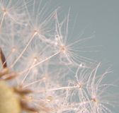 Blowball in close up Stock Images