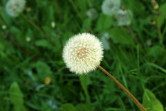 Blowball. Closeup photo of blowball head royalty free stock images