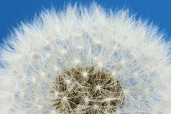Blowball. / dandelion against blue sky stock images