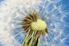 Blowball. / dandelion against blue sky stock photos