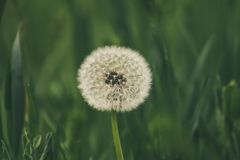 Blowball dandelion close-up royalty free stock images