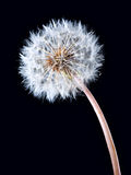 Blowball of dandelion flower Stock Photo