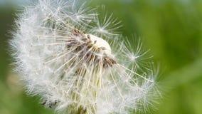 Blowball, dandelion, macro stock video footage