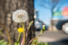 Blowball de pissenlit dans l'avant une rue Photographie stock