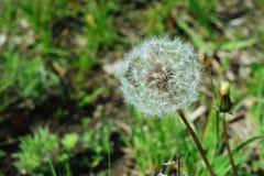 Blowball della primavera Fotografia Stock