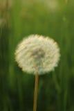 Blowball en un campo por puesta del sol Fotografía de archivo