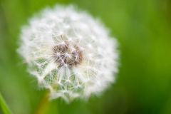 Blowball exempté de pissenlit Photo stock
