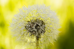 Blowball. Field flower. The blossoming blowball growing on a summer meadow Royalty Free Stock Photos
