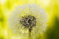 Blowball. Field flower. Royalty Free Stock Photos