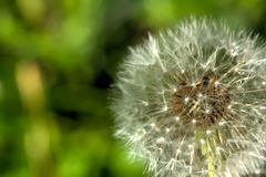 Blowball. Field flower. Stock Photo