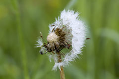 Blowball. Field flower. The blossoming blowball growing on a summer meadow Royalty Free Stock Image