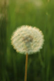 Blowball in a field by sunset Stock Photography