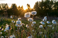 Blowball in a field by sunset, spring. Royalty Free Stock Photo