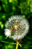 Blowball Fleur de zone Photographie stock libre de droits