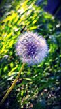 Blowball. Flower blowball green Royalty Free Stock Photography