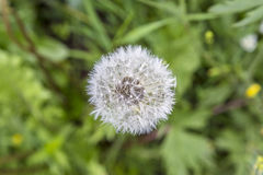 Blowball flower grows at the meadow Stock Photography